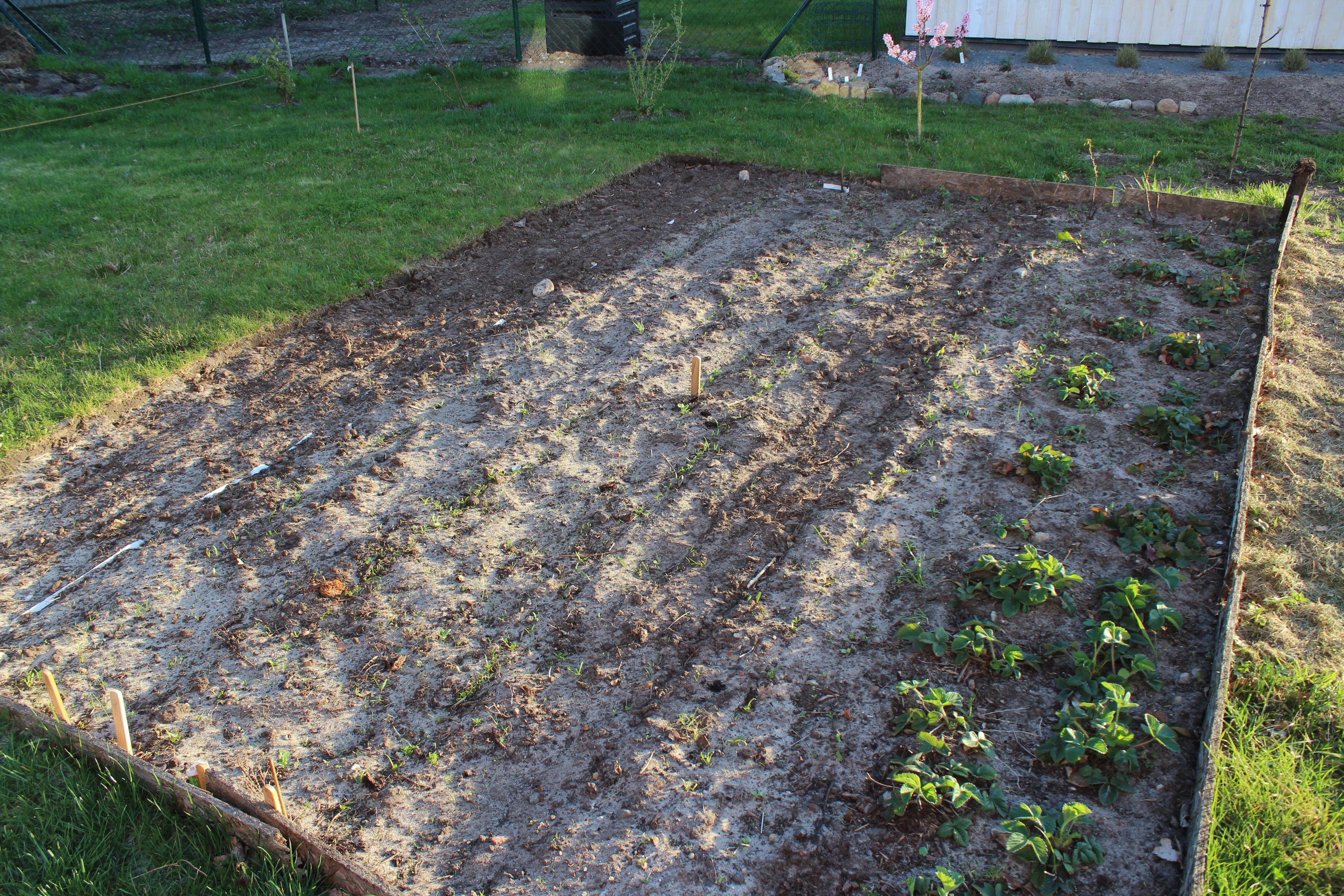 Der Spinat wächst. Auch Erbsen, Radieschen, Salat und dicke Bohnen zeigen ihre Köpfchen.