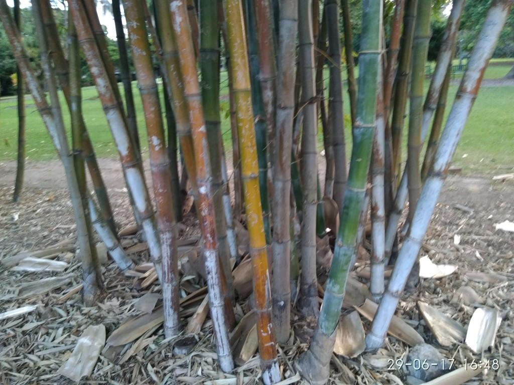 Brisbane ist subtropisch. Der botanische Garten hat einen Bambuswald.