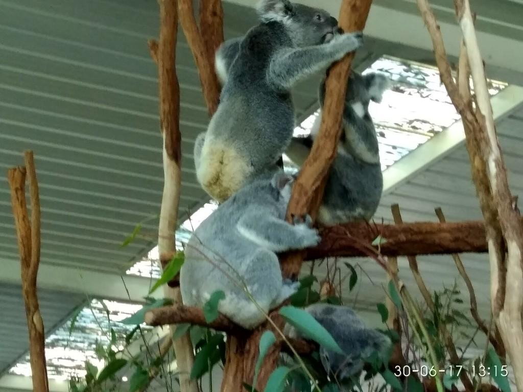 Die meisten Koalas waren am schlafen. Das tun sie 20 Stunden am Tag. Diese hier waren gerade aktiv.