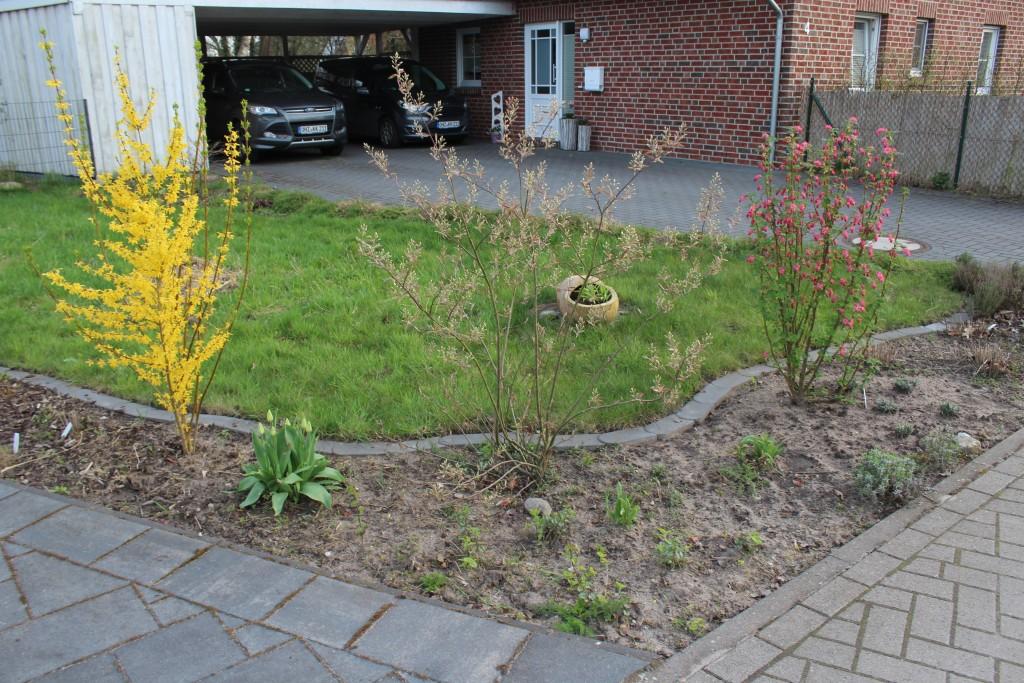 Forsythie, Kupfer-Felsenbirne, und Zier-Johannisbeere (vorgestern - inzwischen blüht die Tulpe)