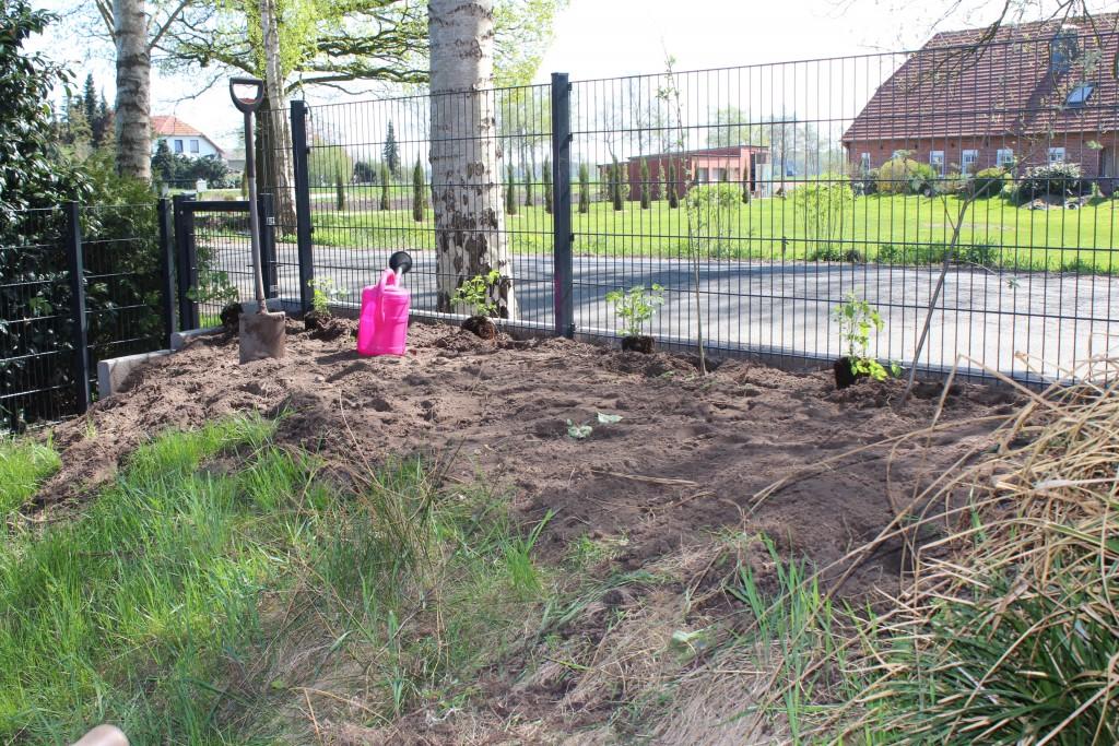Clematis x jouiana über 30 m den Zaun entlang gepflanzt. Hier...