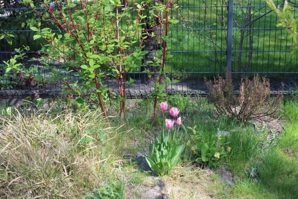 Seit gestern blühen die Tulepn.