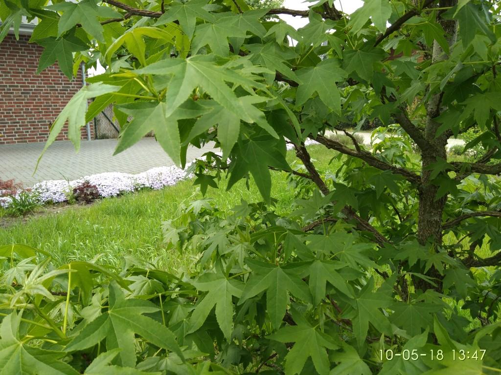 Amberbaum und der Teppichphlox der Nachbarin.