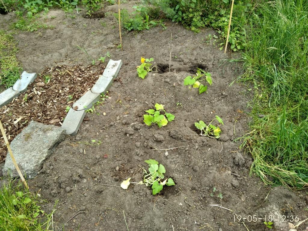 Die vorgezogenen  Zucchinis sind jetzt draußen.