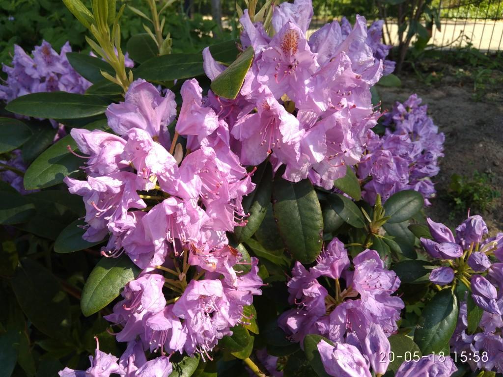 Mai ist Rhododendrenzeit!