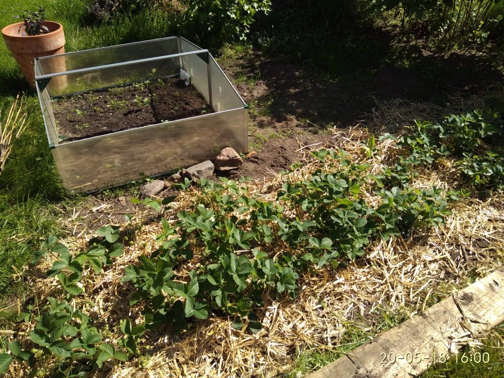 Die Erdbeeren haben Stroh bekommen, weil die Früchte bald reif sind.